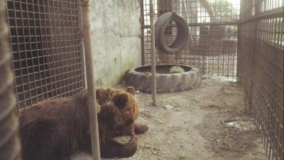 Владелец медведицы, которая откусила руку мужчине: «Не могу я её убить. Я её с соски выкормил»