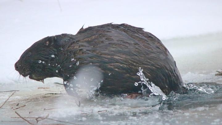 В красноярском заповеднике запечатлели ныряющего бобра. Официально их там нет