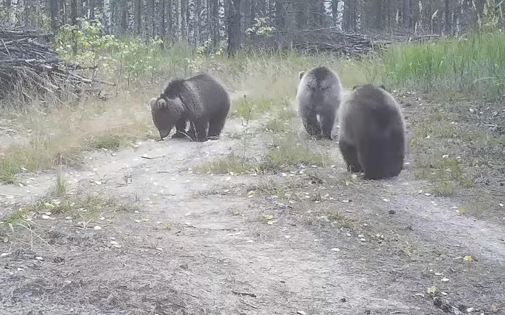 Медвежата довольно быстро выросли