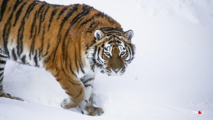 Есть жирок — не страшен холодок: репортаж о том, как звери в челябинском зоопарке переживают морозы