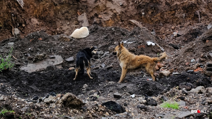 «Окружили и пытались укусить»: очевидец рассказал о нападении стаи собак на ребёнка в Мотовилихе