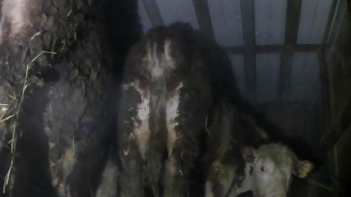 Телят из Казахстана не дождутся в Тюмени: животных задержали в Зауралье