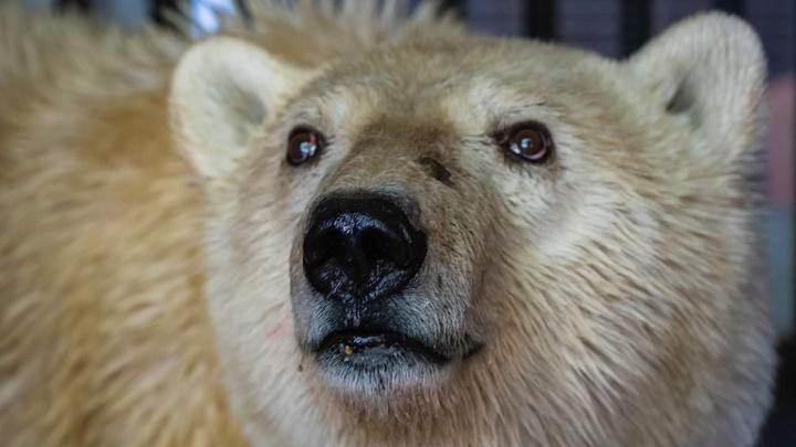 «Отмылась и перешла на ягоды»: в зоопарке рассказали о жизни белого медведя из Норильска