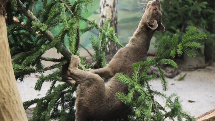 В Новосибирском зоопарке показали, как животные используют непроданные ёлки. Получилось милое видео