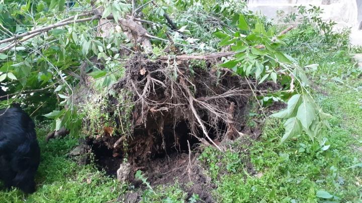 Рухнувшее дерево оставило без света несколько домов в Пионерском поселке
