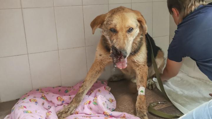 Стреляли в упор: новосибирцы спасают жизнь собаке с отстреленной мордой
