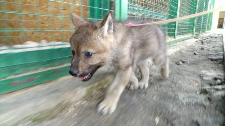 Волчат, родившихся в Самарском зоопарке, назвали в честь космодромов