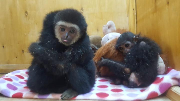 Везли в кошачьих переносках: уральские таможенники перехватили груз с макаками и гиббонами