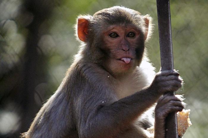 Опыты на обезьянах помогут разработать новые лекарства