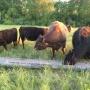 «Я оценил ущерб в 800 тысяч». У южноуральского фермера увели стадо уникальных коров