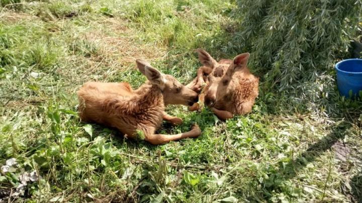 Житель Башкирии спас двух осиротевших лосят – Зиту и Гиту