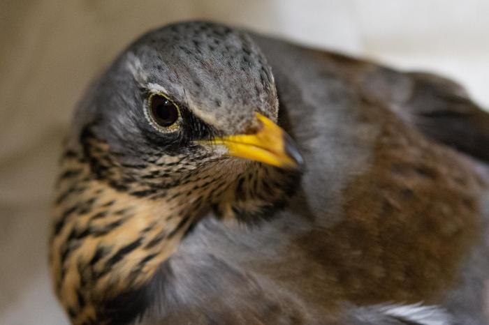 После лечения птицу планируют выпустить на волю