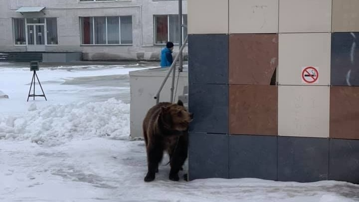 «Это Россия, детка»: пермяки заметили медведя, привязанного к ДК Гагарина