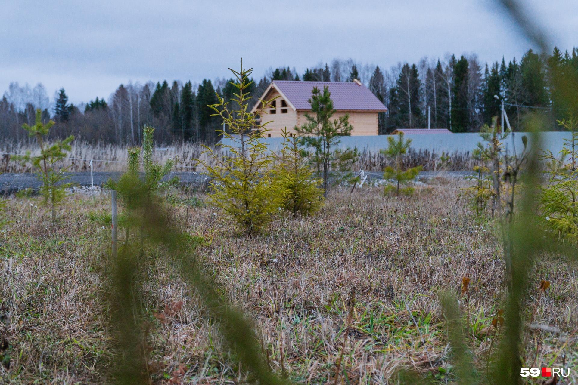 Мельников посадил на участке около 40 хвойных деревьев