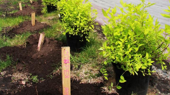 Хватай лопату: власти бесплатно раздадут новосибирцам тысячи маленьких деревьев