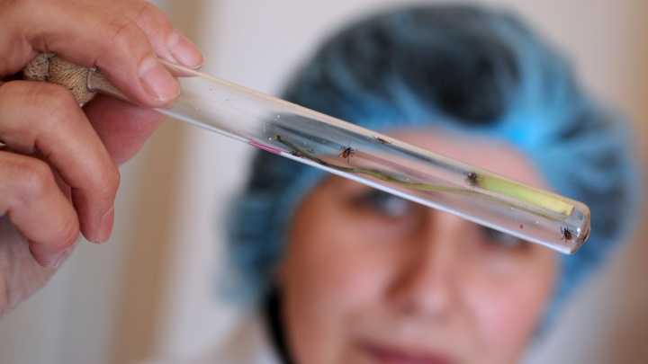 Новосибирские учёные нашли новый вид клещевого энцефалита и назвали его в честь Оби