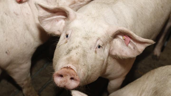 «Изъять и сжечь»: для борьбы с африканской чумой свиней в Зауралье потратят 900 тысяч рублей