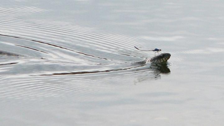 Гадюки переплывают Волгу, чтобы попасть к «Волгоград Арене»