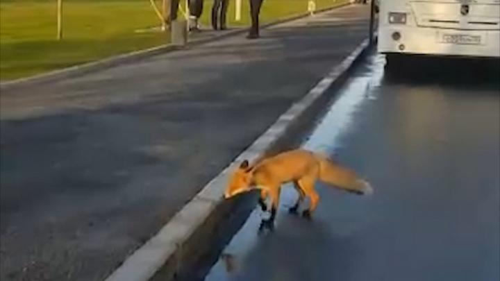 Бесстрашная лисица бегала на остановке в Уфе — плутовку сняли на видео