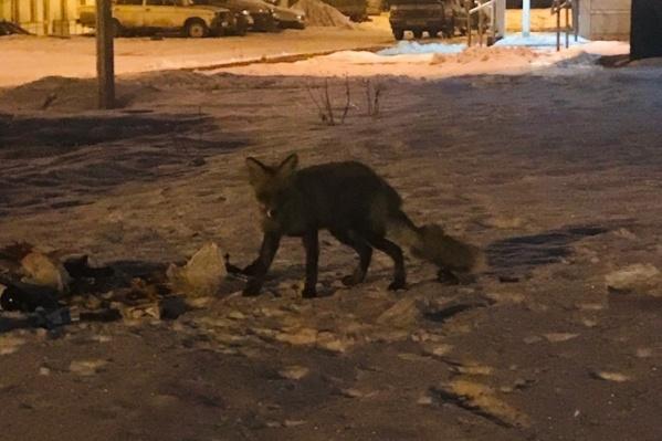 Хищница приходит в микрорайон по вечерам
