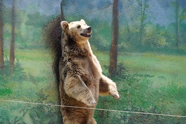 Бурый медведь давно живет в ростовском зоопарке и уже привык к людям