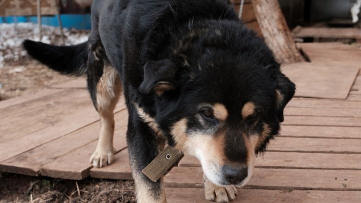 Оставила раны на лице: в Перми шестилетнюю девочку покусала собака