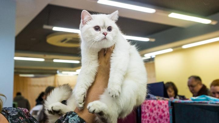 Королевские особы: новосибирцам показали сотню лучших котиков