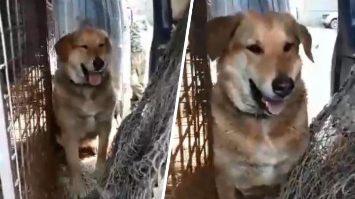 Зоозащитники поделились смешным видео, как собака сама залезла в машину отлова и отказалась уходить