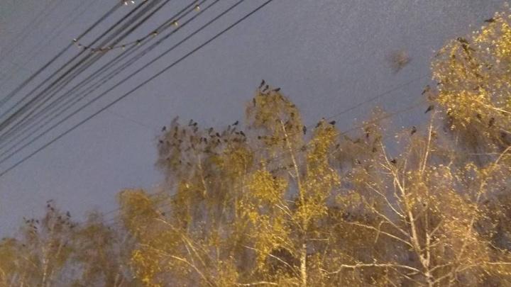 Оголодавшие вороны слетелись в Новосибирск в поисках еды