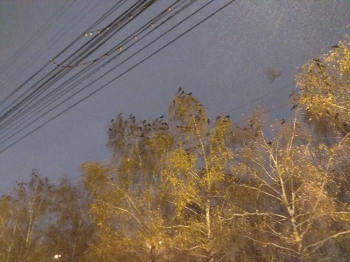 С наступлением холодов в Новосибирск начали слетаться вороны из соседних регионов