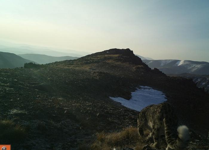 Учёные с осторожностью говорят о начале восстановления численности ирбиса на Алтае