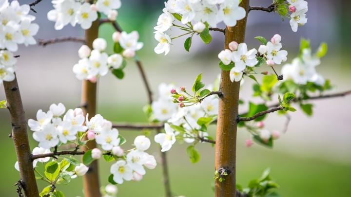 Сосны и ясени: какие деревья посадят в Красноярске на 120 миллионов