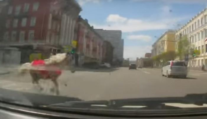 Хозяйка сбитой в центре Красноярска лошади объяснила, как это произошло
