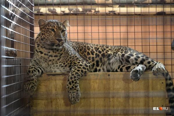 Леопард спокойно лежал в вольере, пока его снимали