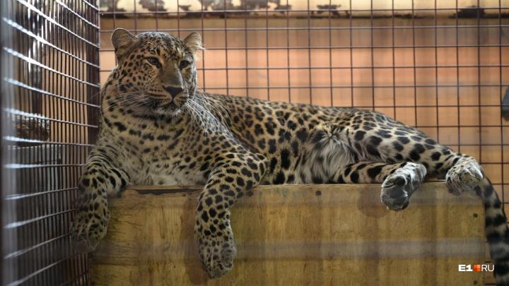 В Екатеринбург приехали огромные тигры и любопытные лилигры: публикуем фоторепортаж из цирка