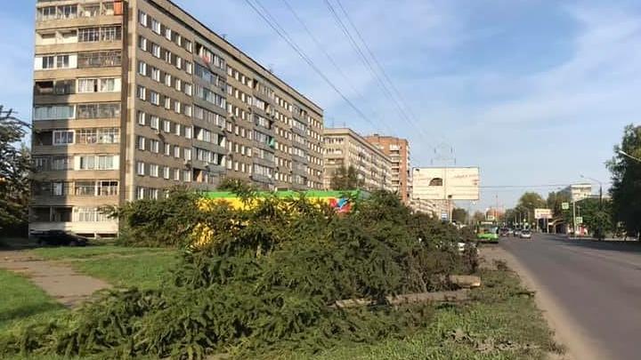 На улице Павлова заметили десятки спиленных хвойных деревьев