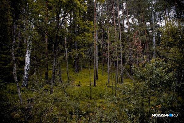 В Абанском районе здоровый лес хотели вырубить под видом погоревшего