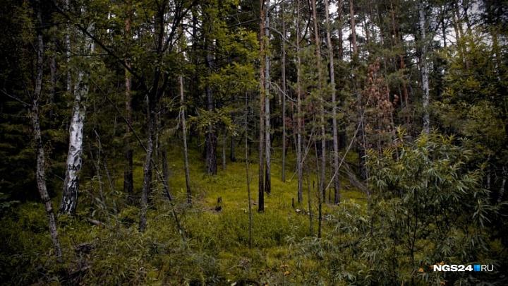 Здоровый лес в крае выдавали за сгоревший ради вырубки