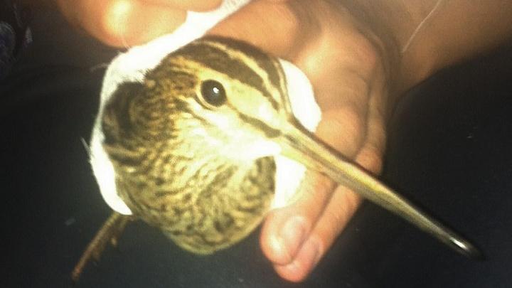 Новосибирцы подобрали на улице раненую птицу с очень длинным клювом