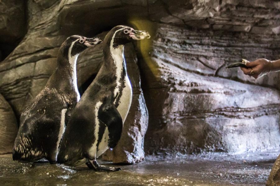 Пингвины вНовосибирском зоопарке начали строить любовные гнёзда