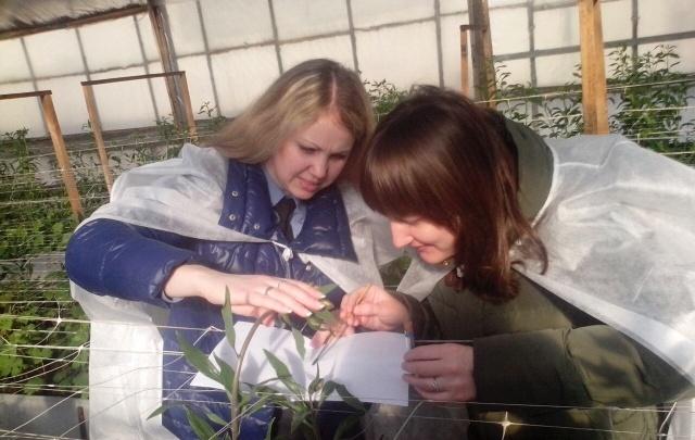 В тепличных комплексах Кургана на растениях обнаружили вредный организм