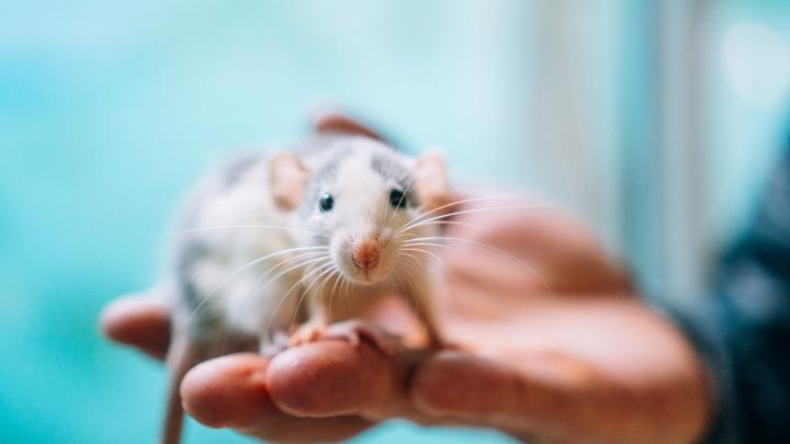 Умная, как собака, и ласковая, как кошка: можно ли заводить крысу дома и стоит ли её дарить