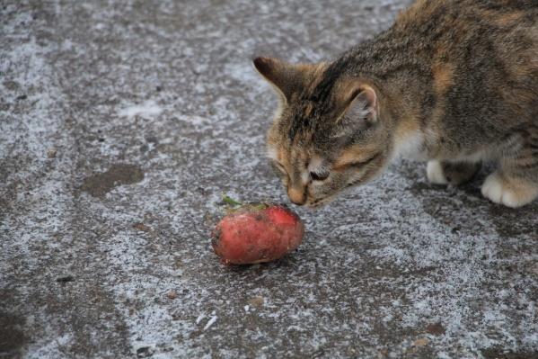 Кошки осторожно подходят к картошке. И правильно делают!