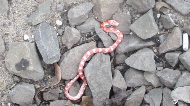 В поезде Санкт-Петербург — Волгоград нашли розовую змею