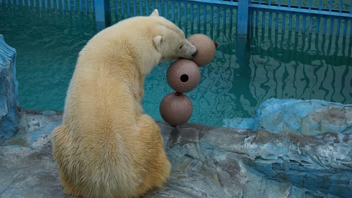 Били лапой и пытались съесть: медведи из Екатеринбургского зоопарка получили игрушки-шары