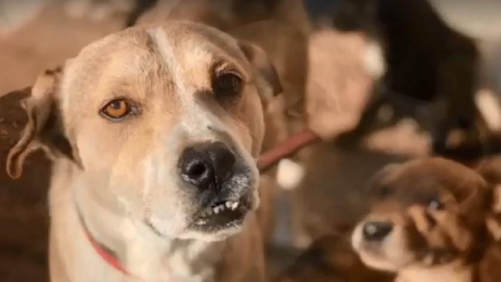 «Он стал отцом для многих щенков»: выживший после двойного наезда машины Барс помогает обездоленным