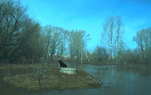 Жители Башкирии пытаются спасти ротвейлера, застрявшего посередине реки