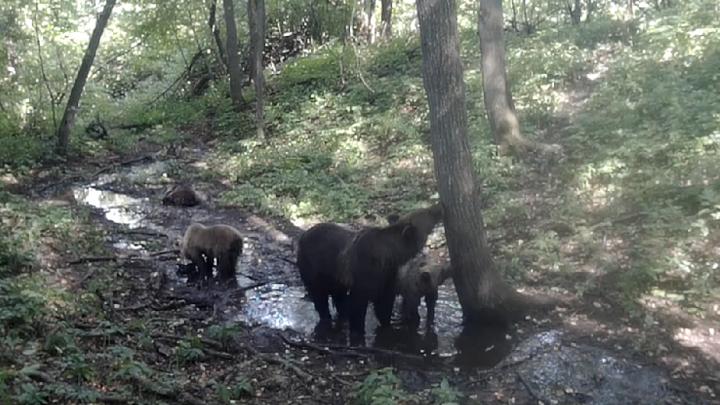 В Башкирии фотоловушка засняла семейный поход медведей к водопою