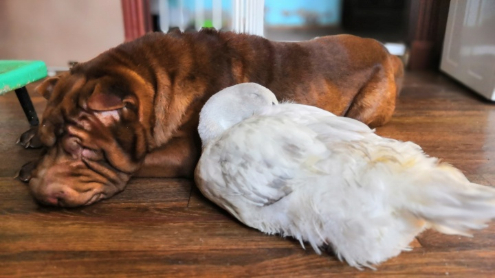 В Омске утка, воспитанная шарпеями, снесла яйцо