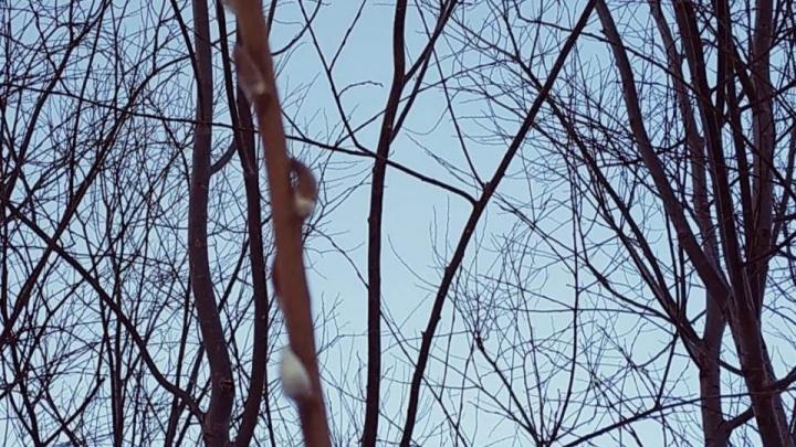 Не от весны: под Новосибирском в мороз распустилась верба